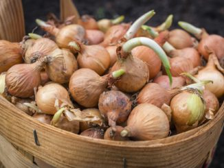 How to Grow Onions from Scraps